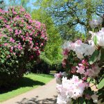 Rhododendrons in the Spring